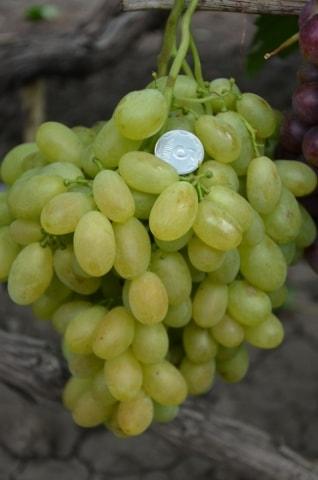 Сорт винограда монблан