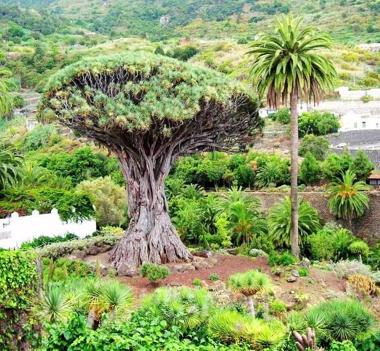 Какое дерево стало символом греции