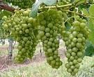 Фриули венеция джулия виноделие